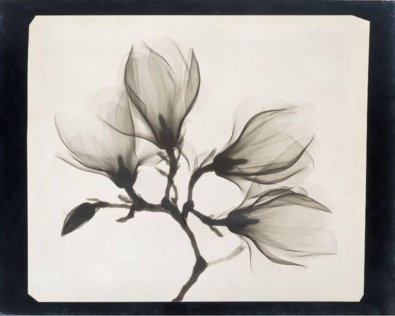 Xray Of Magnolia Flowers Art Print Antique X Ray Photo Black | Etsy