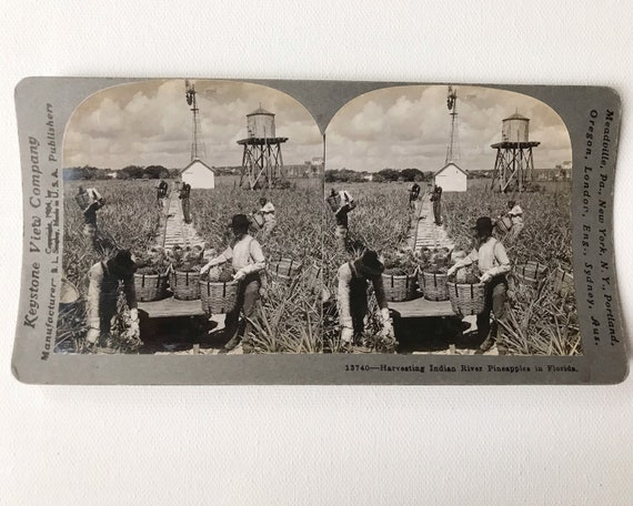 Keystone View Company Harvesting Indian River Pineapples in Florida Stereoview #13740 Copyright 1904