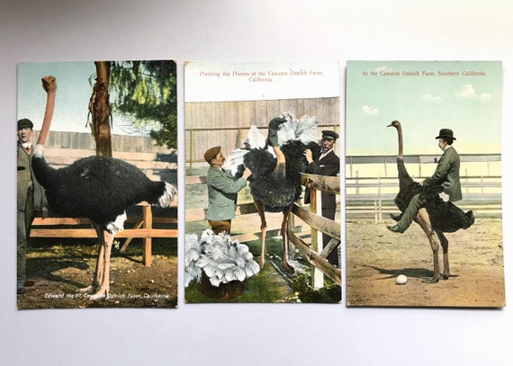 Three Post Card Views of Southern California's Cawston Ostrich Ranch - M. Rieder Postcard Publisher