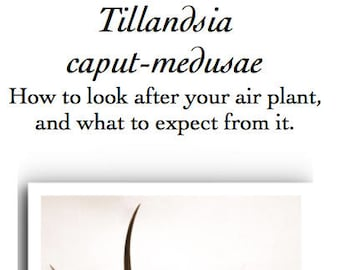 Tillandsia caput-medusae care leaflet; watering, flowering, and pup.