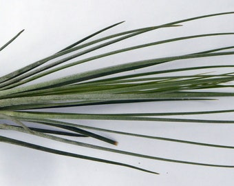 Air plant, Tillandsia juncea, ideal houseplant for small spaces, windowsills.