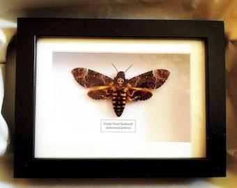 Death's Head Hawk Moth (Acherontia lachesis) real insect