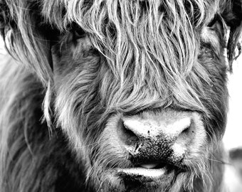 Black and White Hairy Cow - Photograph