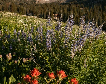 Wildflowers of Utah — Alta, UT