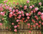 5 PINK CLIMBING ROSE Rosa Bush Vine Climber Fragrant Butterfly Flower Seeds photo