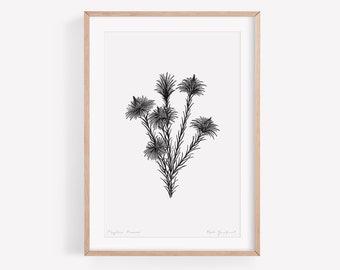 Australian Art Print of Phylica Flower