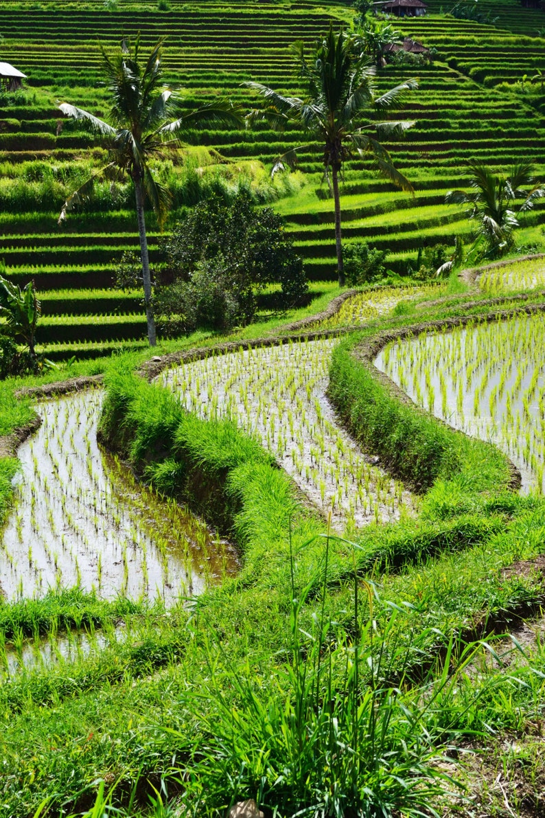 Jatiluwih Rice Terraces Bali Indonesia Sea Of Green Etsy