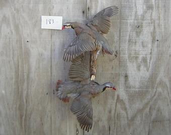 1//4 Lb Natural Chukar Partridge Hen Plumage Wholesale Feather Bulk Costume