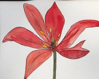 Greeting card of T. Sprengeri tulip