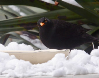 Are You Looking At Me ?  Blackbird in the Snow Card