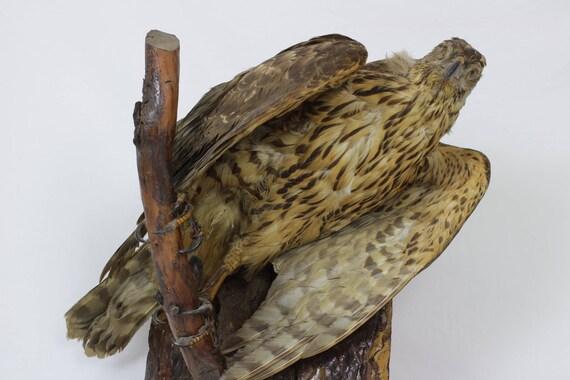 French Bird Of Prey Real Taxidermy Eagle Hawk Bird Etsy