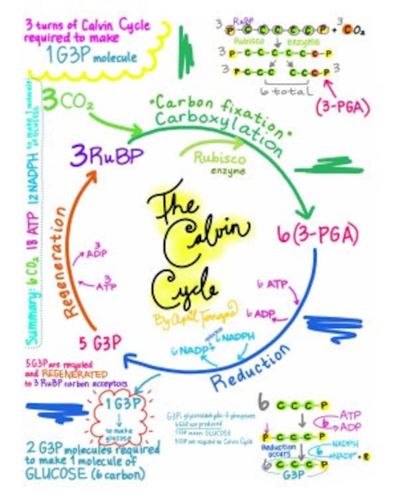 The Calvin Cycle Diagram Full Step By Step Explanation Download Photosynthesis Science Carbon Atp Carboxylation Biology