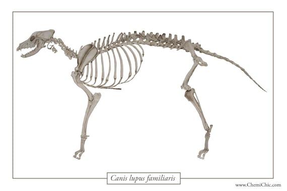 Artículos similares a Anatomía canina Poster Print, esqueleto de ...