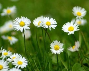 Fine Art photograpy, daisies, nature photography, photo print, summer, spring, white flower, Dutch language, botanical photo, green.