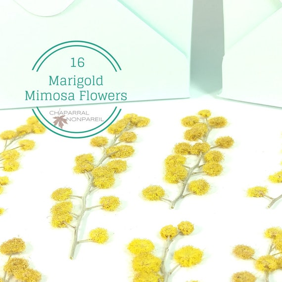 Marigold dried pressed mimosa flower mustard yellow natural etsy image 0 mightylinksfo