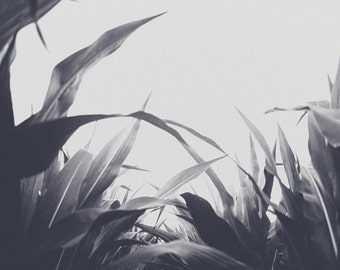 Black and White Cornfield, Abstract Cornfield, Farm Photography, Farm Print, Modern Art