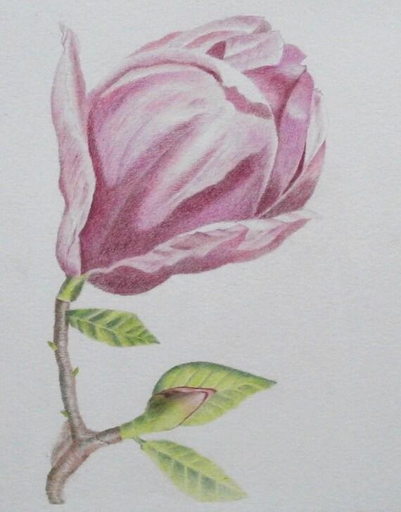 Fleur De Magnolia Origine Botanique Couleur Crayons Dessin Petite Taille