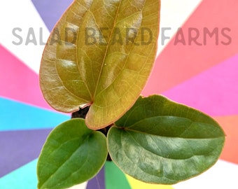 Radicans x luxurians starter plant - FREE PRIORITY SHIPPING!