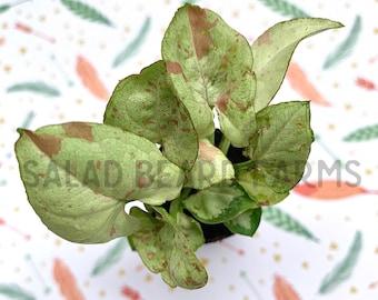 "Syngonium 'Fiesta' aka ""Milk Confetti"" starter plant - FREE PRIORITY SHIPPING!"