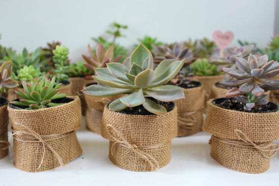 Wedding Favour Hessian Succulents