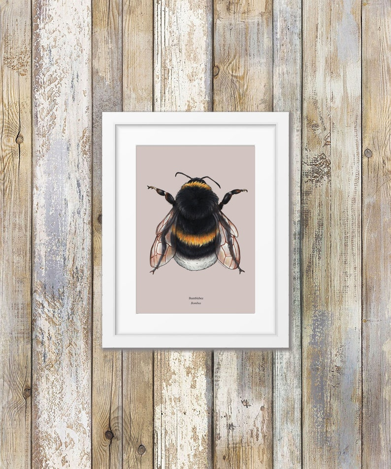 Entomolgy Bumblee Taxonomy Print Insect Art Print Wall Decor Natural History Illustration