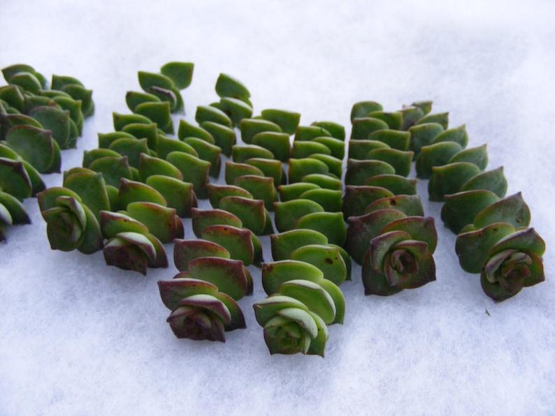 String of Button Succulent cuttings Crassula perforata