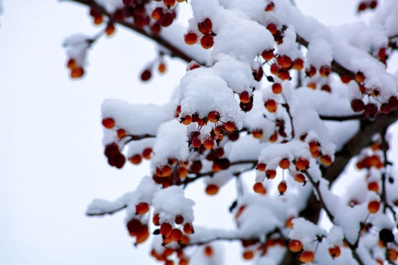 Snow Red Berries Winter Nature Photography Etsy
