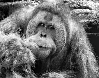 Orangutan, Wildlife Photography, Nature Photography