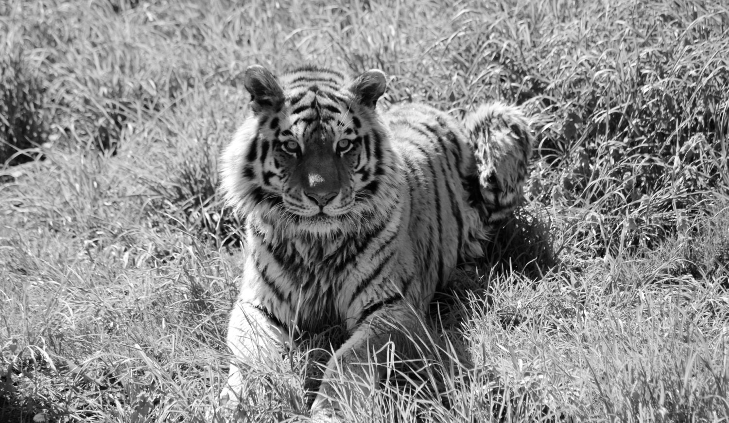 tiger black and white photography wildlife photography | etsy