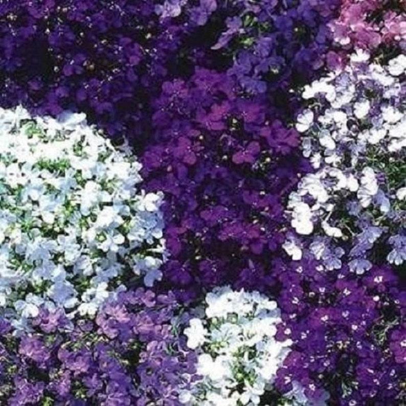 50 Riviera Mix Lobelia Perennial Flower Seeds Etsy