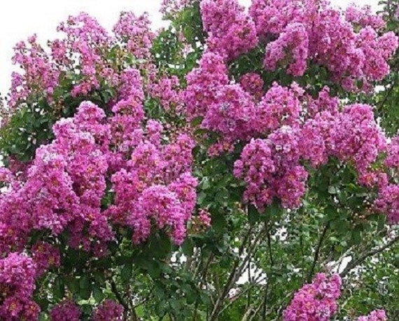35 dark pink crape myrtle tree drought tolerant shrub etsy image 0 mightylinksfo