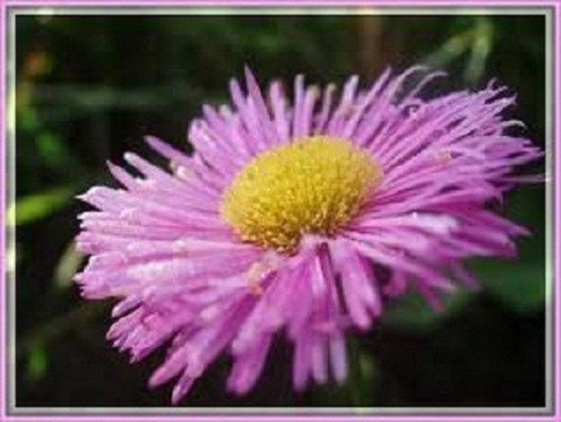 a8186d2df97961 50 Erigeron Pink Jewel   Flea Repellent   Drought Tolerant