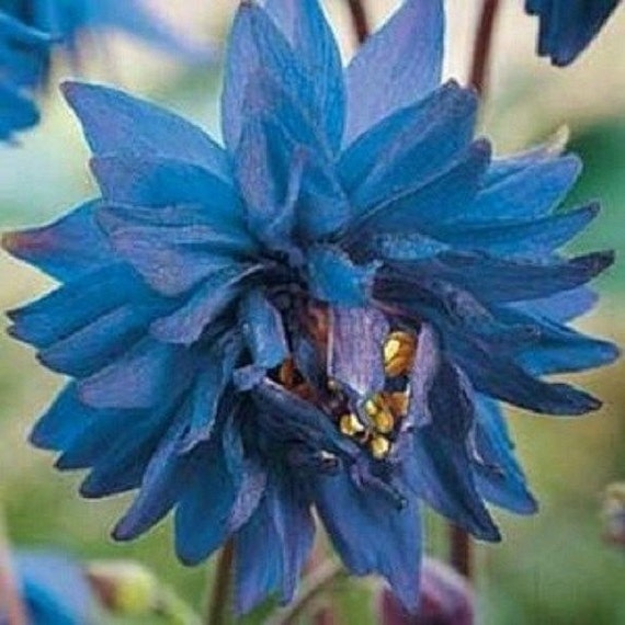 Columbine Floral And Gifts: 25 Barlow Blue Aquilegia Columbine / Perennila Flower