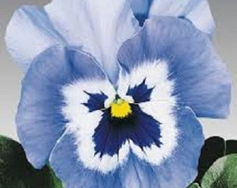 Joker Light Blue Pansy / Biennial Flower Seeds