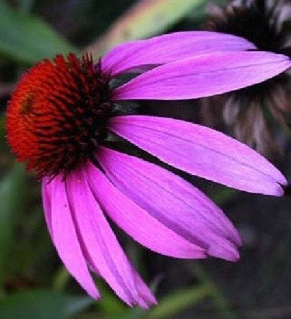 Fresh Coneflower Echinacea Seeds Purple Pink Flower 40 US Seller