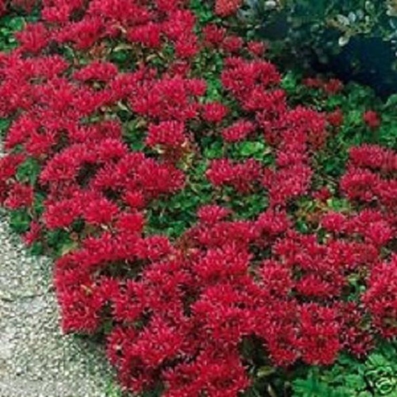 50 Cherry Red Summer Glory Sedum Perennial Flower Seeds Etsy