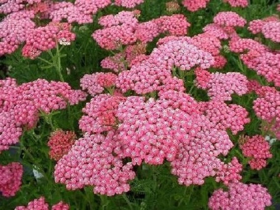 50 pink achillea yarrow deer resistant perennial flower etsy image 0 mightylinksfo