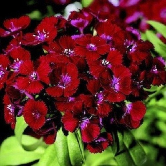 30 crimson red dianthus perennial flower seeds etsy image 0 mightylinksfo