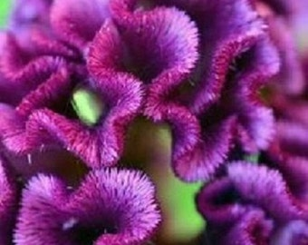 30+ Purple Cockscomb Celosia / Re-Seeding Annual / Flower Seeds.