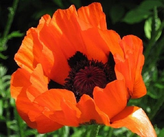 Orientale Prince Of Orange Papaver Flower Seeds Perennial 50