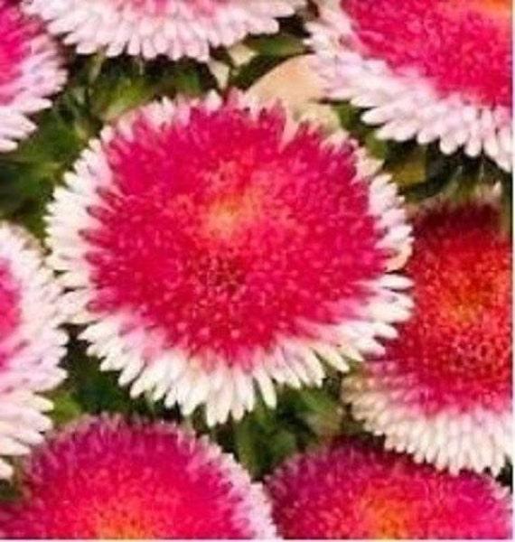 30 Rouge Pom Pom Aster Fleur Vivace Rocaille Etsy