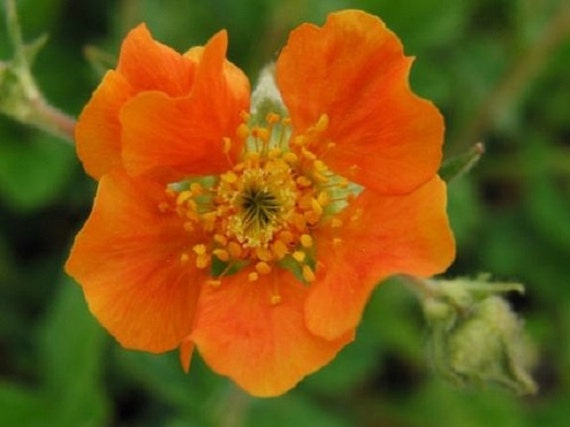 50 tangerine orange geum perennial flower seeds etsy image 0 mightylinksfo