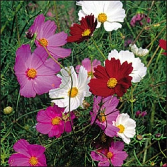 35 Cosmos Purple Red White Mix Drought Tolerant Etsy