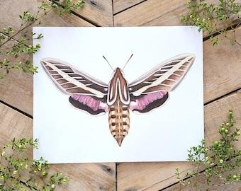 Sphinx Moth Scientific Illustration Art Print, moth art, colorful insect illustration, watercolor animal drawing, Moth illustration SciArt