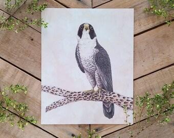 Peregrine Falcon Scientific Illustration Art Print, scientific illustration, bird of prey, avian drawing, bird behavior, Falcon illustration