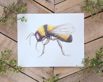 Sonoran Bumblebee Illustration Art Print, Scientific Illustration, Bee Art, pollinator art, Bombus sonorus Painting, Insect Illustration