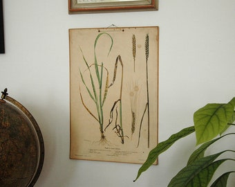 Vintage School Poster - Educational Botanical Drawing - Pull Down Chart - Old School Poster - Wheat - Flower Chart - Genuine 1950s Poster