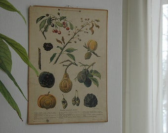 Vintage School Poster - Wall Chart - Educational Botanical Drawing - Pull Down Chart - Old School Poster - Fruit Trees - 1950s Poster