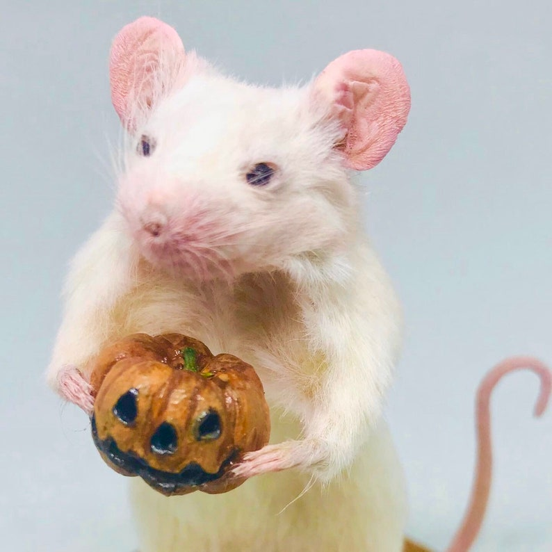 Taxidermy Mouse with Halloween pumpkin  oddities curio image 0
