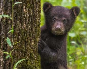 Cades Cove Black Bear Cub, Smoky Mountains, Fine Art Print, Jimmy Pappas Photography